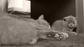 Παιχνίδι γατών με τα γατάκια στον τάπητα απόθεμα βίντεο
