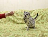 Παιχνίδι γατών με το άτομο, εσωτερικό παιχνίδι γατών σε ένα κρεβάτι Στοκ φωτογραφία με δικαίωμα ελεύθερης χρήσης
