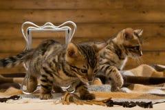 Παιχνίδι δύο γατακιών της Βεγγάλης για τη φωτογραφία Στοκ Εικόνες