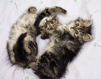 Παιχνίδι δύο γατακιών Στοκ Φωτογραφία