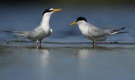 Παιχνίδι δύο θαλασσοπουλιών μαζί στην όχθη ποταμού στοκ εικόνες