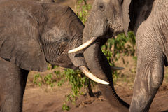 παιχνίδι ελεφάντων Στοκ Εικόνα