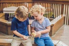 Παιχνίδι κοριτσιών και αγοριών μικρών παιδιών με τους νεοσσούς στο petting ζωολογικό κήπο Στοκ εικόνα με δικαίωμα ελεύθερης χρήσης