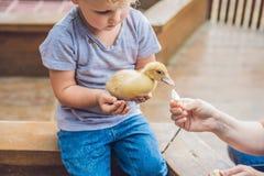Παιχνίδι κοριτσιών μικρών παιδιών με τους νεοσσούς στο petting ζωολογικό κήπο Στοκ φωτογραφίες με δικαίωμα ελεύθερης χρήσης