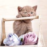 Παιχνίδι με τα λουλούδια Πορτρέτο κινηματογραφήσεων σε πρώτο πλάνο της σκωτσέζικης γάτας Στοκ Φωτογραφίες