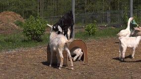 Παιχνίδι παιδάκι γύρω από τη μείωση σε ένα παλαιό σκυλόσπιτο και την ώθηση του ενός τον άλλον φιλμ μικρού μήκους