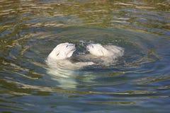 Παιχνίδι πολικών αρκουδών με cub του στο νερό κλίμα στοκ φωτογραφία με δικαίωμα ελεύθερης χρήσης