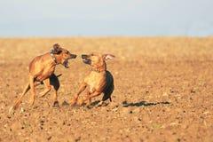 παιχνίδι σκυλιών ισχυρό Στοκ φωτογραφία με δικαίωμα ελεύθερης χρήσης
