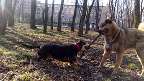 Παιχνίδι σκυλιών με ένα ραβδί απόθεμα βίντεο