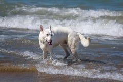 Παιχνίδι σκυλιών στη λίμνη Μίτσιγκαν στοκ εικόνες