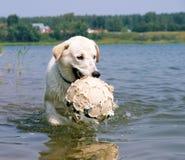 παιχνίδι σκυλιών σφαιρών Στοκ Φωτογραφία