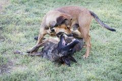 Παιχνίδι σκυλιών τραχύ στη χλόη, δράση δαγκώματος Στοκ φωτογραφία με δικαίωμα ελεύθερης χρήσης