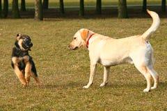 παιχνίδι σκυλιών Στοκ Φωτογραφία
