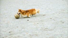 Παιχνίδι σκυλιών Corgi με τη σφαίρα απόθεμα βίντεο