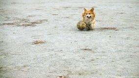 Παιχνίδι σκυλιών Corgi με τη σφαίρα φιλμ μικρού μήκους