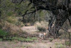Παιχνίδι alleli Jackrabbit Lepus αντιλοπών τριών λαγών στο εθνικό πάρκο Saguaro, Αριζόνα, ΗΠΑ Άνοιξη, Μάρτιος στοκ εικόνα