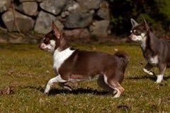Παιχνίδι Chihuahuas στο χορτοτάπητα Στοκ εικόνες με δικαίωμα ελεύθερης χρήσης