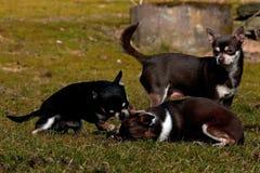 Παιχνίδι Chihuahuas στο χορτοτάπητα Στοκ φωτογραφία με δικαίωμα ελεύθερης χρήσης