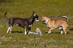 Παιχνίδι Chihuahuas στο χορτοτάπητα Στοκ Φωτογραφία