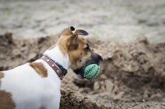 Παιχνίδια σκυλιών τεριέ αλεπούδων με τη σφαίρα στοκ φωτογραφίες