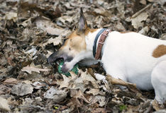 Παιχνίδια τεριέ αλεπούδων σκυλιών με τη σφαίρα στοκ εικόνες με δικαίωμα ελεύθερης χρήσης