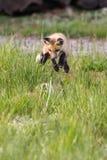 Παιχνίδι άλματος εξαρτήσεων αλεπούδων Στοκ Εικόνα