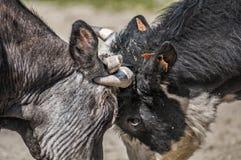 Παιχνίδι αγελάδων Στοκ εικόνα με δικαίωμα ελεύθερης χρήσης