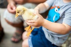 Παιχνίδι αγοριών μικρών παιδιών με τους νεοσσούς Στοκ εικόνες με δικαίωμα ελεύθερης χρήσης