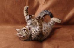 Παιχνίδι γατακιών που βρίσκεται στην πλάτη του Στοκ φωτογραφία με δικαίωμα ελεύθερης χρήσης