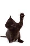 Παιχνίδι γατακιών Στοκ Φωτογραφίες