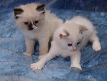 Παιχνίδι γατακιών Ragdoll Στοκ φωτογραφία με δικαίωμα ελεύθερης χρήσης