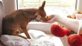 Παιχνίδι γατών και σκυλιών σε ένα παράθυρο μαζί και παιχνίδι με τον ιδιοκτήτη τους και κατανάλωση του μπισκότου φιλμ μικρού μήκους