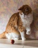 Παιχνίδι γατών σπιτιών πιπεροριζών με το αυγό Στοκ Φωτογραφίες