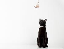 Παιχνίδι γατών της Βομβάη με το παιχνίδι στον άσπρο πίνακα Στοκ εικόνες με δικαίωμα ελεύθερης χρήσης