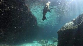 Παιχνίδι λιονταριών θάλασσας με το χαλίκι υποβρύχιο απόθεμα βίντεο