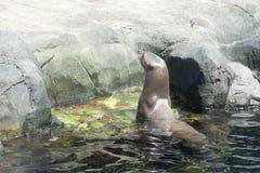 Παιχνίδι λιονταριών θάλασσας στο νερό Στοκ Φωτογραφίες
