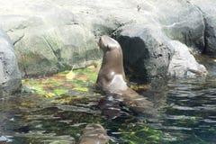 Παιχνίδι λιονταριών θάλασσας στο νερό Στοκ εικόνα με δικαίωμα ελεύθερης χρήσης