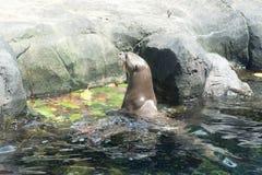 Παιχνίδι λιονταριών θάλασσας στο νερό Στοκ Εικόνες