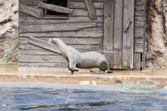 Παιχνίδι λιονταριών θάλασσας Στοκ εικόνες με δικαίωμα ελεύθερης χρήσης