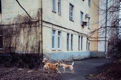 Παιχνίδι και γουλιά φιλιών δύο κοκκινομάλλεις μιγάς σκυλιών Η έννοια του TR Στοκ Φωτογραφίες