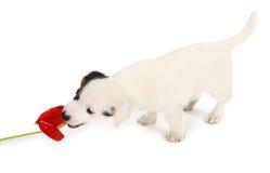 Παιχνίδι κουταβιών του Jack Russell με κόκκινο Anthurium Στοκ Εικόνες
