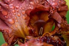 Παιχνίδι με τη γενειοφόρο μακροεντολή λουλουδιών της Iris πυρκαγιάς Στοκ Εικόνα
