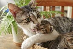 Παιχνίδι μητέρων με τα γατάκια Στοκ Φωτογραφίες