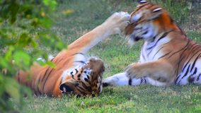 Παιχνίδι παιχνιδιών πάλης τιγρών απόθεμα βίντεο