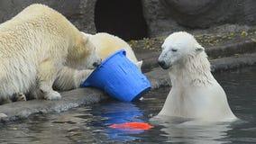 Παιχνίδι πολικών αρκουδών απόθεμα βίντεο