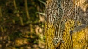 Παιχνίδι σκιούρων γεγονότων σκιούρων στο δέντρο Στοκ Φωτογραφία