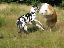 παιχνίδι σκυλιών Στοκ Φωτογραφίες