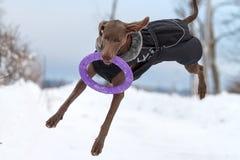 Παιχνίδι σκυλιών Weimaraner Στοκ εικόνες με δικαίωμα ελεύθερης χρήσης