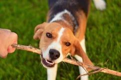 Παιχνίδι σκυλιών λαγωνικών με το ραβδί Στοκ φωτογραφία με δικαίωμα ελεύθερης χρήσης