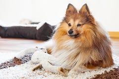 Παιχνίδι σκυλιών και shelty Στοκ Εικόνες